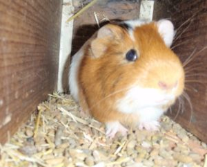 Clhoe the Guinea Pig.